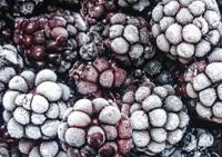 plantatie mure - mure inghetate / congelate